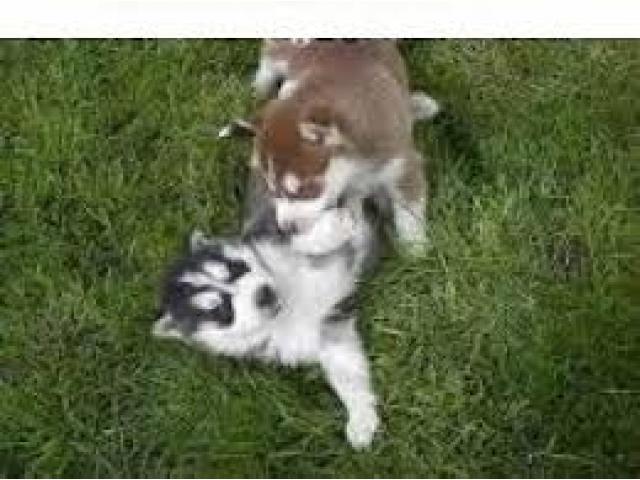 regalo cachorros gratis en burgos